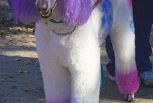 Oodles of Poodles! / The amazing rainbow of poodles! I'd love to have one in every color!