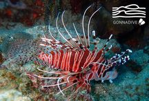 Lionfish / This place is for sharing your lionfish photos or to enjoy lionfish pictures posted by underwater photographers and scuba divers. Pin lionfish images only and respect copyright. If you wish to be added to this board just follow  it or comment any images and we will send you an invite!