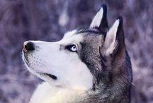 huski