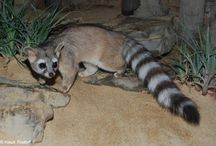 Ring Tailed Cat - cacomixtle norteño