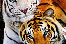 White and Orange Tigers