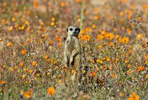 Namaqua Flower Beach Camp / 14th August – 13th September.Namaqua Flower Beach Camp is located in the Namaqua National Park for a limited period over the peak flower season – and the 2015 dates are 14th August until the 13th September 2015. A total of 10 tents are established each year in a remote and scenically stunning location 1 km north of the Groenrivier entrance to the Namaqua National Park. For more info visit http://wildernessexplorer.co.za/namaqua-flower-beach-camp/