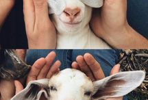Love my Goats