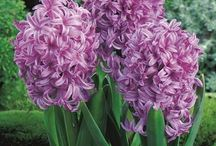 Hyacinths / Hyacinths are perennial herbaceous plants that are popular early bloomers. The name comes from the Greek god of vegetation Hyacinth and it is believed that these plants are originally from the Middle East.  Their flowering period extends from March to April.