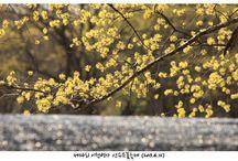 ทัวร์เกาหลี, เทศกาลชมดอกซานซูยูที่ Icheon Baeksa (Icheon Baeksa Sansuyu Flower Festival) , Korea