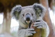Koala Kuddly Bear.