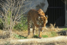 Malayan Tigers / by Tulsa Zoo