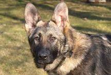 Psy / Nástenka o psoch, rasách a ich obrázky...