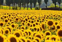 Sunflowers and landscaped
