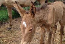 Unique N Fancy Vanzi AKA Fauna, amber champagne Molly mule / Ima Unique Vanzi Two - dam, ChCh AHQHA  Theodore- sire, dapple blue roan mammoth jack  Fauna is registration pending