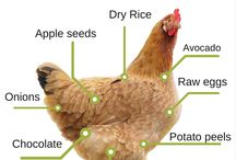 Keeping chickens (free range) / Keeping chickens in our backyard with chicken coop!  Ideas and care for chickens