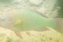 Underwater Fish Pictures while snorkeling former dock ruins = Rainbow Parrotfish / Underwater Fish Pictures while snorkeling former dock ruins at #DryTortugas #NationalPark / #FortJefferson including the rare #Rainbow #Parrotfish / by David Heath