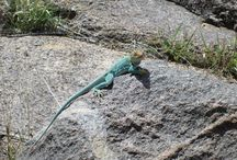 Lizards I have known / Southwest Lizards