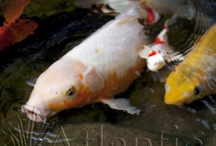 In the Koi Pond / Koi of all different shapes sizes and colors!