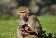 Baboons / Discover an energetic troop of Hamadryas Baboons. Plan to see the Baboons on your next visit!