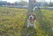 Polly my lovely Beagle