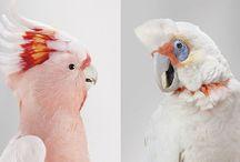 Leila Jeffreys  /  es una talentosa fotógrafa y una apasionada por las aves desde su infancia en Australia. Ella trabajó durante más de dos años en compañía de grupos de rescate de vida silvestre, parques naturales, zoológicos y criadores privados, en un maravilloso proyecto que retrata a una gran variedad de magníficas especies de cacatúas, periquitos y aves rapaces de todos los colores.