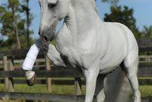 Lipizzaner / What a beautiful horse
