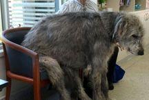 my next dog Irish Wolfhound