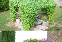 Vines and climbing plants for pergola and trellis
