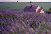 Oh, lavender!