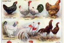 chicken_galery