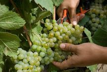 Harvest time / It is grape harvest time and so the best time to learn about the process of wine production and to taste the first wines of 2013.