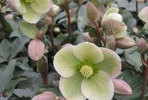 Plant - Helleborus