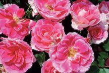 patio - rose