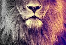 Lion/ cats / poesjes /Wolf