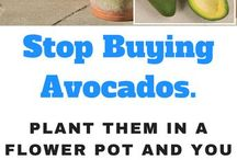 how to grow  avo