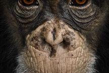 Chimp/Ape/Monkey