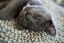 Russian Blue | ロシアンブルー | CAT / ロシアンブルー。ロシアンブルーはブルー(濃いグレー)の被毛(ダブルコート)と宝石のようなエメラルドグリーンの眼をもつ、やや大型の猫です。初めての人でも比較的飼いやすい猫です。