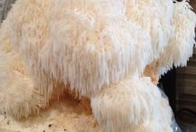 Growing Lion's Mane Mushrooms / This board is all about how to grow the beautiful (and delicious!) Lions Mane mushroom (Hericium erinaceus). Learn how you can grow Lions Mane (or the bearded tooth mushroom, satyr's beard, bearded hedgehog mushroom, pom pom mushroom or bearded tooth fungus!) for yourself at home. Learn about different grow methods using sawdust and other substrates.