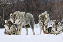 Wolves / 25+ Enchanting Wolf Pictures