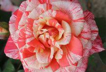VIRÁGOK / Szépséges virágokról, ami nélkül nagyon szegény lenne a világ, a lelkünk, életünk. A Virágok meg szépítik a mindennapjainkat, Virágot viszünk névnapra, esküvőre, temetésre, szülinapra, bármilyen alkalomra. No és a kert virág nélkül? MIT ÉR?