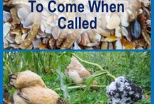 call chickens to come