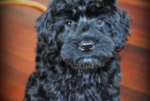 Manor Lake Blog Posts / Everything you need to know about our amazing Australian Labradoodles and awesome info about the breed!