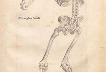 Humanis Corpois Fabrica- Vesalio