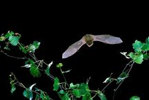 Bats of Europe / Europe is home to more than 3% of the world's species of bats (42+ species).