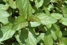 Herbs & Herbal Remedies / How to grow herbs...how to use them for your health & home.