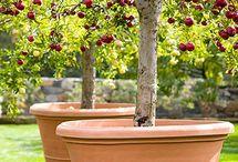 Saksıda meyve ağaçları