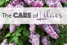 Lilac Time! / by Helen Plum Library