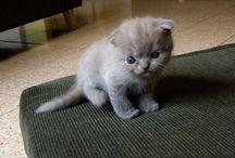 Scottish fold cat / Scottish fold cat