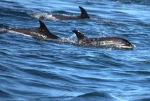 Dolphins and Other Sea Animals / The Atlantic White-Sided dolphin, White Beaked dolphin, Porpoise, Grey Seal, Harbour Seal, Ocean Sunfish, Sharks, Orcas and Leatherback Sea Turtle also can be found in the waters off of Brier Island.