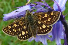Butterfly Breaks / We're running two special breaks concentrating on our brilliant butterflies. !st - 5th  June to look for our unique Chequered Skipper and 29th June - 3rd July for Mountain Ringlet and other species.