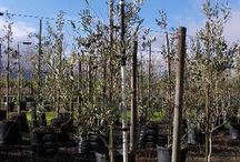 Olea europaea (Mission Olive) / The fast-growing Mission Olive is beautiful tree that works well as an ornamental addition to any garden. It is also drought-resistant and tolerates wind well. We currently stock 40L and 200L. (Last updated 28 March 2017)