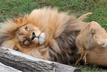 the most beautiful lion in the world