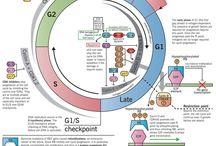 BIO2-Ciclocelular y división.