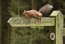 The Red Squirrels in the Yorkshire Dales